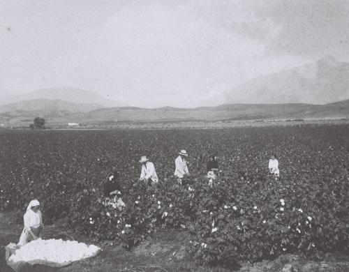 Cultivo de algodón, primera mitad del siglo XX
